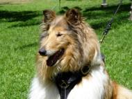 Leather tracking / walking dog harness padded and adjustable : Custom Made for Collie