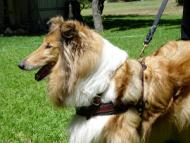 Tracking / Pulling / Walking Leather Dog Harness : Padded and Adjustable : Designed to Fit Your Collie just Perfect