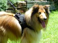 Nylon multi-purpose dog harness for tracking / walking with extra handle.This harness is widely used by Collie owners