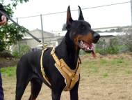Exclusive Luxury Handcrafted Padded Leather Dog Harness with Brass Hardware .With this Harness Your Doberman will look like a King