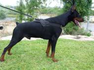 Nylon multi-purpose dog harness for tracking / pulling with extra handle.This harness is widely used by Doberman owners