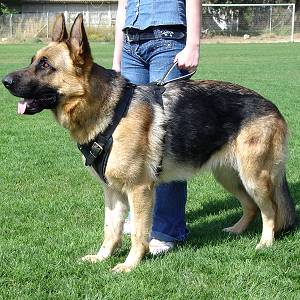German Shepherd Dog Attack