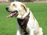 Leather dog harness for agitation,protection and attack.Padded.Designed and Sized to Fit Your Labrador Just Perfect