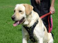 Tracking dog harness made of leather And Created To Fit Labrador