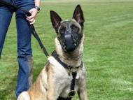 Luxury handcrafted leather dog harness made To Fit Malinois