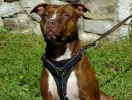 Leather tracking / walking dog harness padded and adjustable : Custom Made for Pitbull
