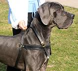 Tracking / Pulling / Agitation Leather Dog Harness : Padded and Adjustable : Designed to Fit Your Great Dane just Perfect