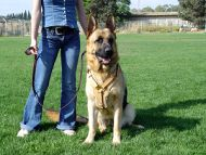German Shepherd Training Leather Dog Harness in Tan Color