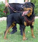 Rottweiler Leather Attack Training Harness