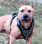 Spiked  Walking dog harness made of leather And Created To Fit Amstaff and similar breeds - product code H9