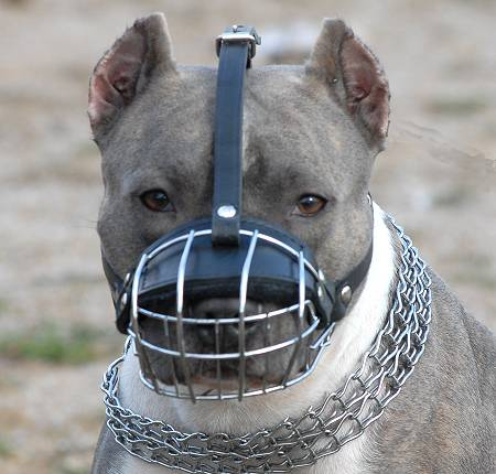 American Pit Bull Terrier muzzle
