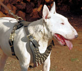 Bull Terrier dog harness