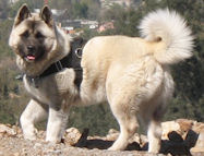 Nylon dog harness for tracking / pulling Designed to fit Akita