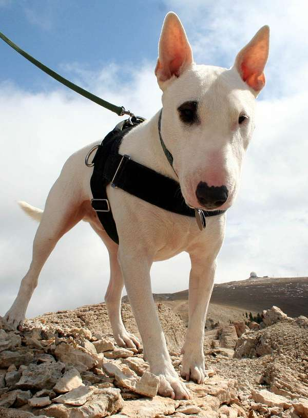 English Bull Terrier dog harness