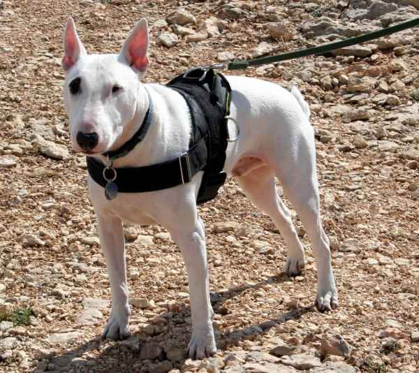 English Bull Terrier dog harness training