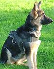 Kira wearing our All Weather Nylon Large Breed Dog Harness for Tracking/Pulling Designed to fit German Shepherd