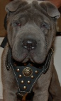 *Achilles is so confident in Royal Dog Harness - Exclusive Design Studded Leather Harness - product code H11