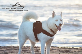 Aika Shows Well Fitting Adjustable Nylon Husky Harness for Tracking