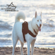 *Aika Shows Well Fitting Adjustable Nylon Pulling Harness for Siberian Husky