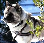 Kochece wearing our exclusive Tracking / Pulling / Agitation Leather Dog Harness For Akita H5