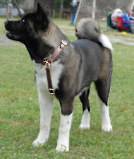 Akita Protection Leather Dog Harness- custom dog harness