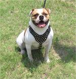 Baby Lonestar wearing our Spiked Walking dog harness made of leather And Created To Fit American Bulldog and similar breeds - pr
