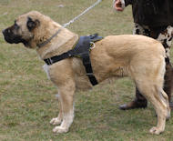 *All Weather Extra Strong Nylon Harness - H6 - Anatolian Shepherd