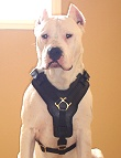 Exclusive Luxurious Handcrafted Padded Leather Dog Harness Perfect for your Argentine Dogo H10