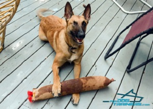 Argo Playing with Huge Leather Bite Tug with 2 Handles for Belgian Malinois