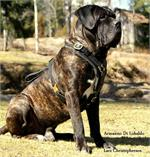 Armanno Di Lobaldo wearing our exclusive Exclusive Luxury Handcrafted Padded Leather Dog Harness Perfect for your Cane Corso
