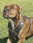 Spiked Walking dog harness made of leather And Created To Fit American-PitBull-Terrier and similar breeds - product code H9
