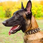 Leather Belgian Malinois Collar with 3 rows of Nickel Studs and Brass Spikes