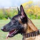 Leather Belgian Malinois collar with 3 spikes+3 old brass pyramids