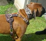 Boxer Barney wearing his new Tracking / Walking dog harness made of leather - H3