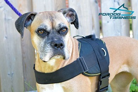 *Reena Feels Super Comfy in Nylon Boxer Harness for Training and Walking