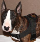 Bull Terrier Rebel looks nice in All Weather dog harness for tracking / pulling - H6