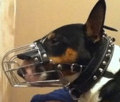 Kilo looking gorgeous in Wire Basket Dog Muzzle - M4light