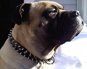 Hooch wearing our exclusive - 3 Rows Leather Spiked and Studded Dog Collar -S55