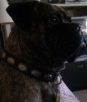 Lou is awesome in Retro Rulz - Gorgeous Vintage Dog Leather Collar - C103_1
