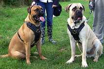 Exclusive Luxurious Handcrafted Padded Leather Dog Harness Perfect for your Bullmastiff H10_1