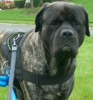 Stylish look of a dog in All Weather Extra Strong Nylon Harness