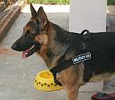 *Buster German Shepherd wearing Better control everyday all weather dog harness - H17