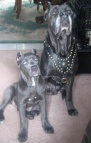 Cane Corso Royal Dog Harness - Exclusive Design Studded Leather Harness