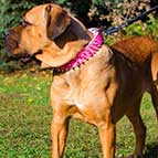 Pink Leather Cane Corso Collar with Nickel Spikes for Daily Walking