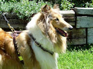 pulling leather dog harness for collie