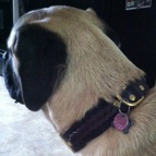 Nice dog in Gorgeous Wide 2 Ply Leather Dog Collar