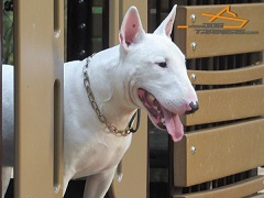 English Bullterrier Bullet Controlled with Curogan Martingale Dog Collar