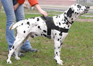 Nylon multi-purpose dog harness for tracking/pulling-Dalmatian