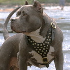 Powerful Dave in Studded Leather Dog Harness for Pitbull