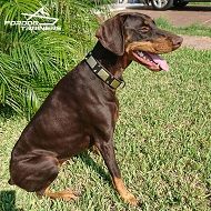 Stylish Doberman Looks Cool in Vintage Designer Leather Dog Collars